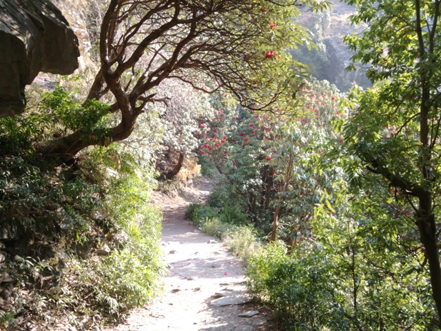 Rhododendron Forest, Triund Camp